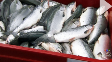 Record-Breaking Year Predicted For Fraser River Sockeye