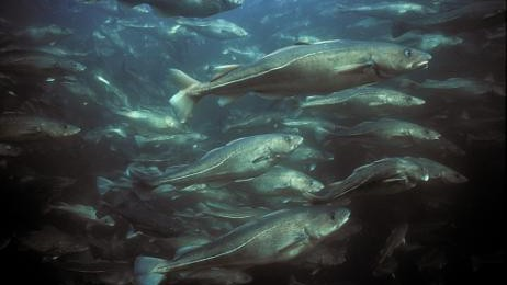 We Can Bring Back Healthy Fish In Historic Abundance Almost Everywhere